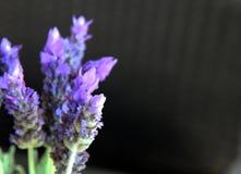 O roxo bonito lavenden flores Imagem de Stock Royalty Free