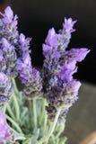 O roxo bonito lavenden flores Fotografia de Stock
