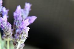 O roxo bonito lavenden flores Imagem de Stock