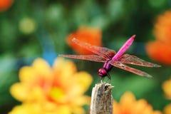 O roxo da libélula da Aurora de Trithemis ou do planador do pântano dos carmesins empoleirou-se no ramo fotografia de stock