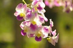 O roxo das orquídeas é considerado a rainha das flores em Tailândia imagens de stock
