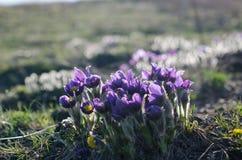 O roxo delicado bonito macro floresce o snowdrop na floresta da mola Imagens de Stock