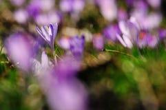 O roxo floresce açafrões no prado na natureza, flores bonitas da mola Imagem de Stock Royalty Free