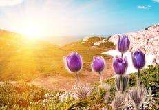 O roxo floresce patens do Pulsatilla nas montanhas fotografia de stock royalty free