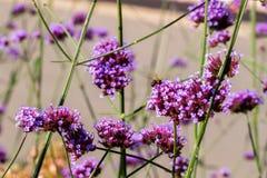 O roxo vívido floresce o close-up Abelha na flor Conceito da natureza bonita, fundo do verão Estações, jardinando Fotografia de Stock Royalty Free