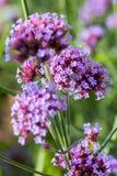 O roxo vívido floresce o close-up Conceito da natureza bonita, fundo do verão Estações, jardinando, admirando flores Imagens de Stock Royalty Free