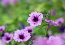 Petúnia de Surfinia das flores Imagem de Stock