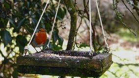 O rubecula europeu do Erithacus do pisco de peito vermelho, conhecido simplesmente como o pisco de peito vermelho ou o papo-roxo  Fotografia de Stock Royalty Free