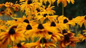 O rudbeckia amarelo brilhante ou Susan de olhos pretos florescem no jardim video estoque