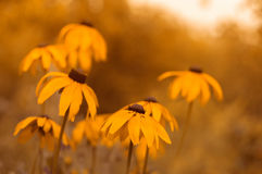 O rudbeckia amarelo floresce em um fundo borrado bonito Foco muito macio e seletivo e uma imagem artística, imagens de stock