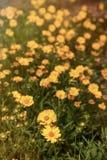O Rudbeckia floresce flores daisylike Imagens de Stock Royalty Free