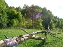 O rufião no gramado verde Fotografia de Stock