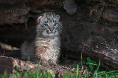 O rufus de Bobcat Kitten Lynx senta-se verticalmente no log Imagem de Stock Royalty Free