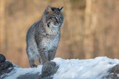 O rufus de Bobcat Lynx está exatamente para registrar foto de stock royalty free