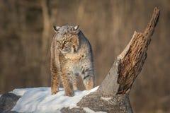 O rufus de Bobcat Lynx gerencie sobre as orelhas do log traseiras Fotos de Stock