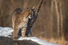 O rufus de Bobcat Lynx inclina-se no ramo interrompido imagens de stock