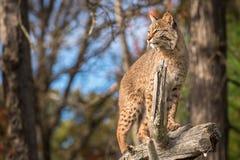 O rufus de Bobcat Lynx levanta-se alto sobre o ramo Imagens de Stock Royalty Free