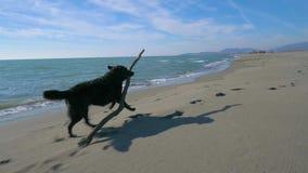 O runnig do cão preto jejua com uma vara de madeira na praia perto da linha de mar vídeos de arquivo