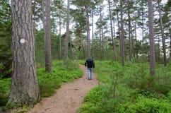 O sénior anda em uma floresta do pinho Fotografia de Stock Royalty Free