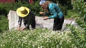 O sênior e a jovem mulher escolhem flores da camomila da erva no jardim video estoque