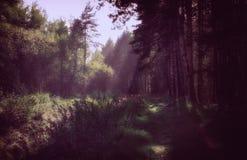 O ` s de Sun irradia na floresta da manhã Imagem de Stock