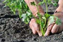 O ` s do fazendeiro entrega a plantação de uma plântula do aipo Imagens de Stock