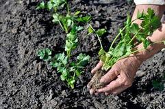 O ` s do fazendeiro entrega a plantação de uma plântula do aipo Fotografia de Stock