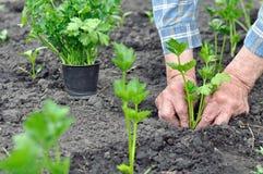 O ` s do fazendeiro entrega a plantação de uma plântula do aipo Fotografia de Stock Royalty Free