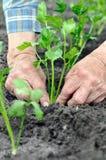 O ` s do fazendeiro entrega a plantação de uma plântula do aipo no garde vegetal Imagem de Stock