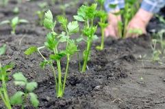 O ` s do fazendeiro entrega a plantação de uma plântula do aipo no garde vegetal Fotografia de Stock