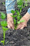 O ` s do jardineiro entrega a plantação de uma plântula do aipo Fotografia de Stock