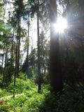 O ` s do sol irradia através das árvores na floresta fotografia de stock