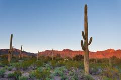 O Saguaro NP abandona a paisagem o Arizona EUA do por do sol Fotos de Stock