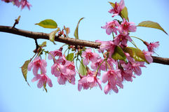 O sakura de florescência no jardim Imagem de Stock Royalty Free