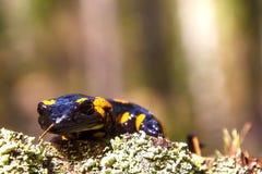 O Salamandra é polvilhado pela chuva de mola Foto de Stock