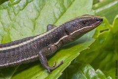 O salamandra em seu habitat Fotografia de Stock