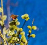 O salgueiro ramifica com florescência dos botões macios amarelos com borboleta imagem de stock
