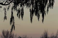 O salgueiro sae da silhueta Foto de Stock Royalty Free