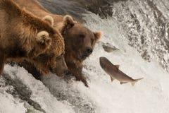 O salmão salta para dois ursos na cachoeira fotografia de stock