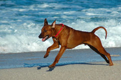 O salto do cão Fotos de Stock Royalty Free