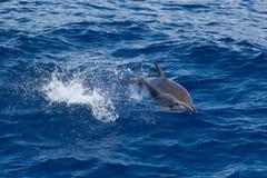 O salto do golfinho foto de stock