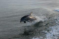 O salto do golfinho Imagens de Stock