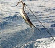 O salto do Sailfish imagem de stock royalty free