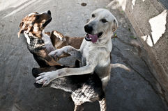 O salto dos cães Fotos de Stock