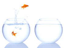 O salto dos Goldfishes Foto de Stock Royalty Free
