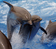 O salto dos golfinhos Fotografia de Stock