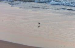 O Sanderling anda na tira da ressaca Fotos de Stock
