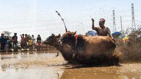 O sapi de Karapan ? a cultura tradicional a mais famosa de Indon?sia na cidade de Probolinggo, East Java, Indon?sia, setembro, 21 imagens de stock royalty free