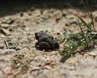 O sapo juvenil na grama amarela por muito tempo seca desengaça o bufo comum de Bufo do sapo do sapo Fotos de Stock Royalty Free