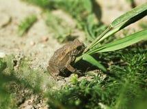 O sapo juvenil na grama amarela por muito tempo seca desengaça o bufo comum de Bufo do sapo do sapo Fotos de Stock